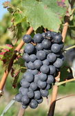 Sunny black grape — Stock Photo