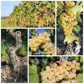 Sunny green grape collage — Stock Photo