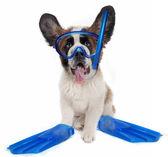Saint Bernard puppy dog wearing snorkeling gear — Stock Photo