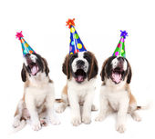 Singing Saint Bernard puppies with birthday party hats — Stock Photo