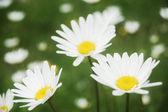 Helle weiße margeriten — Stockfoto
