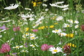 Summer flowers meadow — Stock Photo
