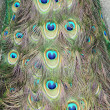 The peacock tail — Stockfoto