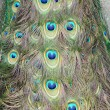 The peacock tail — Stock Photo