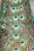 De staart peacock — Stockfoto