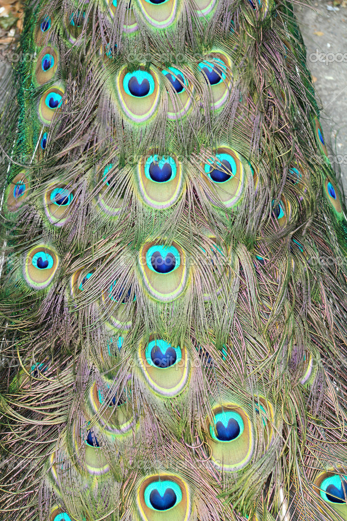 The peacock tail pattern - close up — Stock Photo #4137852