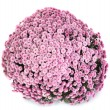 A pot of beautiful pink autumn chrysanthemums — Stock Photo