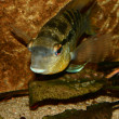 Cichlid (Bujurquina spec.) — Stock Photo