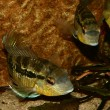 Cichlid (Bujurquina spec.) — Photo