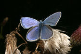 Gossamer-winged butterfly (Lycaenidae) — Stock Photo