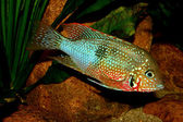 Mexican Fire Mouth (Thorichthys ellioti) — Stock Photo