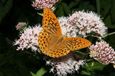Silver-washed Fritillary (Argynnis paphia) — Stock Photo