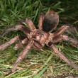 Tarantula (Phormictopus cochleasvorax) — Stock Photo
