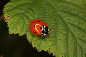 Ladybird beetle (Coccinella septempunctata) — Stock Photo