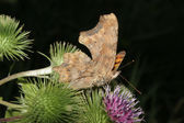 Comma (Polygonia c-album) — Stock Photo