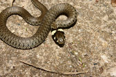 Grass Snake (Natrix natrix) — Stock Photo