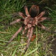 Tarantula (Phormictopus cochleasvorax) - Stock Photo