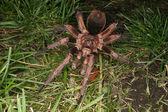 Tarantula (Phormictopus cochleasvorax) — Stock Photo