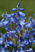Blooming Endymion (Bluebell) — Stock Photo