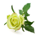 Green rose isolated on white background — Stock Photo