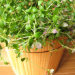 Thyme in flowerpot — Stock Photo