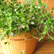 Thyme in flowerpot - Stock Photo