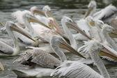 Dalmatian pelican,pelecanus crispus — Foto de Stock
