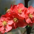 Chaenomeles japonica — Stock Photo #5302577