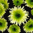 Green chrysanthemums — Stock Photo #4170488