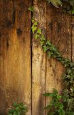 Ivy on wood — Stock Photo