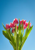 Tulips in spring with blue sky — Stock Photo