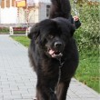 Stock Photo: Black Newfoundland dog for walk