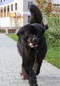 Black Newfoundland dog for a walk — Stock Photo