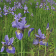 Irises in the city garden — Stock Photo