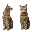 Stock Photo: Twin Kitties