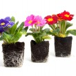 Colorful primula flower in garden soil - Stock Photo