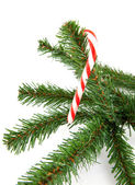 Branch of christmas tree with candycane — Stock Photo