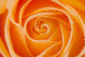 Beautiful orange rose with water drops — Stockfoto