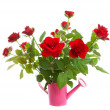 Pink watering can with red roses — Stock Photo