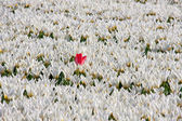 A lot of white tulips and one red — Stock Photo