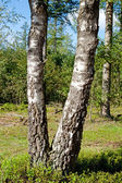 Two tree trunk of birch — Stock Photo