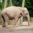 Royalty-Free Stock Photo: Elephant in the zoo