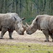 Couple of rhinos fighting — Stock Photo