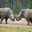 Stock Photo: Couple of rhinos fighting