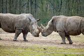 Couple of rhinos fighting — Stock Photo