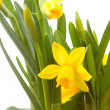 Yellow Daffodil flower in closeup — Stock Photo