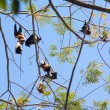 Fruit bats (Pteropodidae, Megachiroptera) - Stock Photo