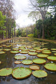 Lily Pond — Stock Photo