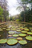 Lagoa de lírios — Fotografia Stock