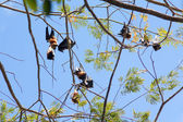 Fruit bats (Pteropodidae, Megachiroptera) — Stock Photo